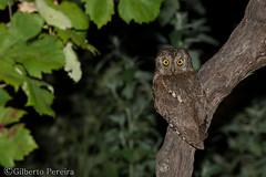 Otus scops (LdrGilberto) Tags: mocho pequeno dorelhas scops owl otus bird ave nature natureza wild