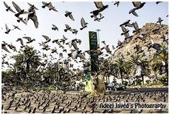 Pegions (Adeel Javed's Photography) Tags: adeel javed pegions makkah saudi arabia