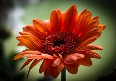 Orange Delight!! (Good Nature One) Tags: orangedelight flower macro nature bloom orange yellow green