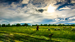 pastoreo (joxe@n) Tags: joxenfoto joseantonioandresgomez aybalaostia alamedilla salamanca nuves pastor ovejas campo hierva panoramica canon eos1d mark canoneos1dmarkiin