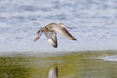 Spotted Redshank (Baractus) Tags: christopher cadbury reserve john oates spotted redshank upton warren uk