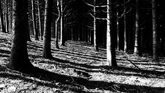 In the forest  B/W (Cacummaro) Tags: forest trees shine shadows black white italy calabria noir samsungs3neo phonography autumn