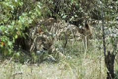 Five minutes more, please (jhderojas) Tags: lions lion kenia masai mara