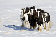 shelleypaulson_2009-194 (Shelley Paulson) Tags: equine gallop gypsyvanner herd horse minnesota snow winter