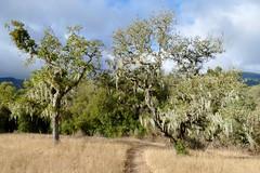 Sun on oaks hung with Ramalina menziesii, LACE LICHEN (openspacer) Tags: fagaceae jasperridgebiologicalpreserve jrbp lichen oak quercus trail tree