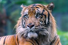 Khunde  - The King of the Jungle (Harimau Kayu (AKA Sumatra-Tiger)) Tags: khunde tiger zoo cat asian asiancat bigcats sumatran pantheratigrissumatrae animal sumatratiger tigredesumatra  tygrsumatersk tygryssumatrzaski sumatraansetijger szumtraitigris uenozoologicalgardens tigre  tygr tijger tigris fuengirola spain ueno    tokyo toodarnhot hsumatra sumatrakaplan     harimausumatera  predetor beast carnivorous flesheating tiikeri sumatrantiikeri the spaniard wonderful rembrandt rembrandtlighting the4thofjuly independenceday bathing swimming nobeastsofiercebut flehmen flehmenresponse king kingoftheenclosure feline mouser grimalkin mammal fierce predatory predator fierceanimal japan bathingtiger flickrbigcats higashiyamazoologicalgardens yagiyamazoologicalgardens sendai