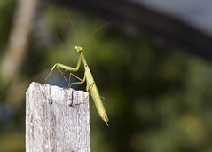 IMG_2016_09_24_7548 (gravalosantonio) Tags: insecto invertebrado artropodos mantodeo mantis huerto jaca jactancia