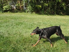 1474743482_2016_Sep_24_14-58-02_yardx785 (yclept8) Tags: doberman julie