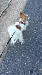 a windy walk (mimbrava) Tags: molly papillon dog arr allrightsreserved mimeisenberg mimbrava mimbravastudio