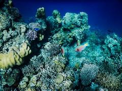 (EliaZane) Tags: maldives pacific ocean fishes corals snorkeling underwater