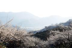 광양-kIMG_9502-1 (khj11107) Tags: canon spring south korea yang gwang 70300l 5dmk3