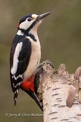 Great Spotted Woodpecker (jaycees2012) Tags: greatbritain england birds unitedkingdom aves woodpeckers westmidlands warwickshire animalia greatspottedwoodpecker studley dendrocoposmajor picidae
