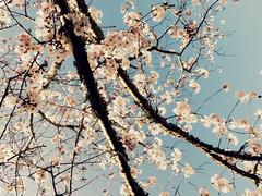 Cherry Tree in Bloom (Chickens in the Trees (vns2009)) Tags: pink flowers nature floral botanical spring branch branches blossoms bloom cherrytree blooming