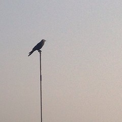 Mr.lonely ! (mehviish) Tags: bird animal square alone delhi single squareformat lonely ng crow animalworld birdpic instapic iphoneography igers instagramapp uploaded:by=instagram