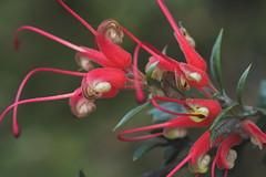 Grevillea tripartita subsp. macrostylis (andreas lambrianides) Tags: wildflower australiannativeplant proteaceae australianflora grevilleatripartitasubspmacrostylisgrevillea