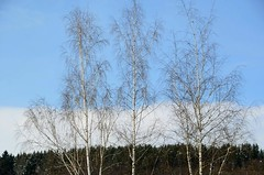 Linnuke! (anuwintschalek) Tags: blue trees sky white 3 cold bird easter austria three spring himmel april birch blau ostern kalt hellblau weiss bume kask niedersterreich vogel puud lind frhling birke waldviertel lightblue drei kolm kevad drosendorf taevas valge 2013 klm lihavtted d7k nikond7000 sigma1770os kolmkaske