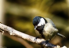 Great tit on a twig. (AlexanderArntsen) Tags: light color colour bird eye nature beauty closeup forest wonderful landscape photography amazing wings nikon colorful branch forrest sweden branches natur wing beak feathers feather 300mm sverige moment lovely tamron airborne autofocus fgel enviroment coulorful ga thegalaxy natureswonder fjdrar fjder flickraward nbb naturemasterclass smfglar d7000 exploreable mygearandme natureskingdom blinkagain tamronsp70300mmf456divcusd photobyarntsen rememberthatmomentlevel1