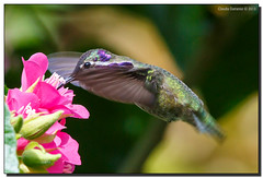 Costa's Hummingbird Feeding II (Fraggle Red) Tags: male garden hummingbird feeding florida miami fairchild coralgables butterflyhouse costashummingbird fairchildtropicalbotanicgarden calyptecostae canonef70200mmf4lisusm miamidadeco canoneos5dmarkiii dombeyaseminole 5d3 5diii tropicalrosehydrangea wingsofthetropics