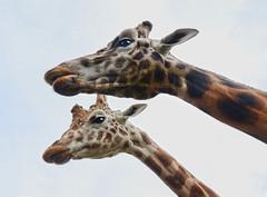 Skyward (andrewrosspoetry) Tags: giraffe