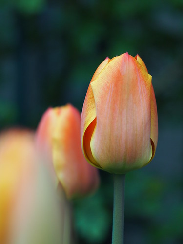 Tulipe @Mon jardin by ai3310X, on Flickr