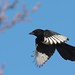 Skata / Common Magpie