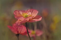 Spring to Summer (Flick Vlooi) Tags: pink flowers light summer macro nature sunshine spring dof seasons pentax bokeh poppies k5 wonderfulworldofflowers smcpentaxdfa100mmf28wr