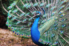 Peacock at Warwick Castle (ovofrito) Tags: uk blue england bird castle nature nikon peacock warwick pavo d300s