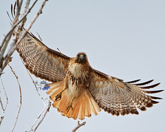 Redtail Hawk on the wing (Daryl L. Hunter - The Hole Picture) Tags: usa closeup eyecontact unitedstates hawk jacksonhole redtail onthewing grandtetonspark