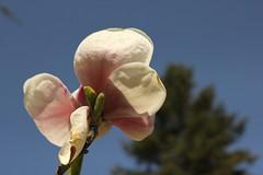 Magnolia (Been Around) Tags: tree vacances travellers blossoms bulgaria magnolia blte baum velikotarnovo magnolie magnolien bulgarien thisphotorocks visipix blossomsmagnolia welikotarnowo velikotarnowo velikoturnowo