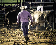 A lot of bull (angelnfreefall) Tags: cowboys danger cattle horns bull bulls arena rodeo bullriding chute bucking bullriders probullriders windyacresarena