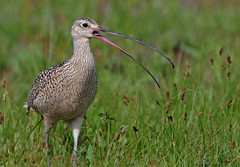 Vocal Long-billed Curlew - 0664b+ (teagden) Tags: summer bird tongue photography nikon wildlife beak yelling loud yell avian vocal curlew longbilledcurlew shorebird longbilled vocalizing wildlifephotography jenniferhall sicklebird