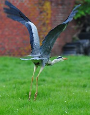 Take off (powerfocusfotografie) Tags: bird heron nature bokeh telephoto reiger henk nikond90 powerfocusfotografie