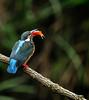 F_DSC4970-正在享受豐盛早午餐的母翠鳥-This female Kingfish treats herself to a heavy brunch-翠鳥-Kingfish-鳥-Bird-羽-Feathers-翼-Wings-新北市-New Taipei City-台灣-Taiwan-中華民國-Rep of China-Nikon D300S-Nikkor 70-200mm-TC-14II-May Lee 廖藹淳 (May-margy) Tags: bird wings feathers taiwan 台灣 鳥 中華民國 羽 翠鳥 翼 nikkor70200mm tc14ii repofchina nikond300s 新北市 newtaipeicity maymargy maylee廖藹淳 正在享受豐盛早午餐的母翠鳥 thisfemalekingfishtreatsherselftoaheavybrunch