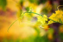 (mzna al.khaled) Tags: macro green colors beautiful yellow canon focus dof bokeh saudi natrue 70200mm     colorphotoaward  macrolife  mzna thephotographyblog flickrandroidapp:filter=none