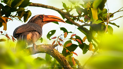 The Malabar Grey Hornbill (mechstar) Tags: morning mountain bird birds grey nikon western perch endemic region f4 hornbill highiso ghats gupta malabar sandip nilgiri masinagudi griseus 200400 vrii ocyceros