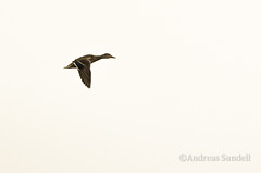 Flying duck (A.Sundell) Tags: lake bird nature rain weather birds animal prime duck pentax sweden natur swedish 300mm da raindrops birdsinflight sverige vatten f4 anka bif fglar sj djur fgel vstmanland surahammar naturfoto weathersealing framns naturphoto da300mm pentaxda300mmf4 pentaxda3004 pentaxk5