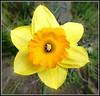 The Humble Daffodil ... (** Janets Photos **) Tags: uk flowers macro flora bulbs daffodils springtime masterphotos takenwithlove mindigtopponalwaysontop lovelyflickr thegoldenachievement goldenachievement dreamlikephotos yellowcloseups
