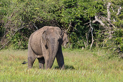 20130314-_NG_0057 (shirl6900) Tags: elephasmaximus asianorasiaticelephant