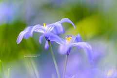 Spring x 36 Million (Lucky Lucas) Tags: flower macro green nature spring colorful purple bokeh lente d800 naturephotography sigma150mm