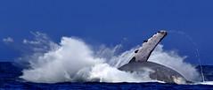 Lunge (evanffitzer) Tags: ocean hawaii jump whale splash kona breach canon60d canoneos60d evanfitzer
