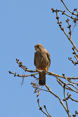 Kestrel (Treflyn) Tags: uk wild england bird wildlife hampshire raptor prey kestrel