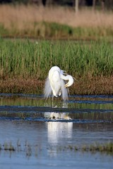 Fagiano phasianus colchicus (Michele Lamberti) Tags: white heron easter great maggiore bianco albus airone phasianus colchicus casmerodius fagiano