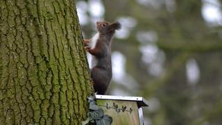 Eichhörnchen, NGID990644052