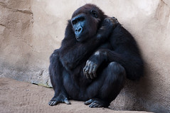Lonely Gorilla (Sebastian Niedlich (Grabthar)) Tags: berlin animal germany deutschland zoo monkey nikon gorilla sigma hannover ape hanover 2012 westernlowlandgorilla zoohannover d90 sept12 gorillagorillagorilla grabthar hanoverzoo sebastianniedlich nikond90 westlicherflachlandgorilla sigma182003563dcos