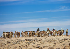 Sudanese Camels Herd Going To Egypt, Dongola, Sudan (Eric Lafforgue) Tags: africa men horizontal walking outdoors photography day desert northafrica shepherd soedan african wildlife sudan extreme adventure camel transportation heat remote caravan copyspace wilderness rearview livestock herd developingcountries globalwarming soudan trader tranquilscene herder herding saharadesert northernafrica animalriding traveldestinations colorimage smallgroupofpeople cameltrain ruralscene largegroupofanimals dongola fulllenght unrecognisableperson aridclimate  indigenousculture szudn sudo  nomadicpeople northernsudan northsudan      xuan ert9019