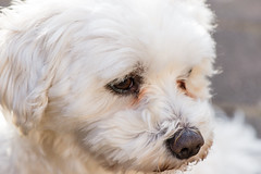 Adorable (Jani Foeldes) Tags: dog macro cute nikon sweet adorable hund micro benny nikkor maltese makro malteser 105mm d600 28g nikond600 nikkor105mm28g