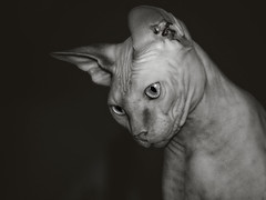 Miss Gypsy Queen waiting for her bath (Corrie Brookhouse (ADORNMENT PHOTOGRAPHY)) Tags: blackandwhite bw pets ontario canada cat portraits hamilton sphynx hairless hfg nikond7000 adornmentphotography