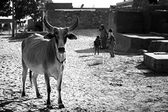 @ Megarago ka basti (bmahesh) Tags: travel light people india man colors canon cow sand desert camel hindu mahesh jaisalmer rajasthan cwc northindia indianstreet rajasthani travelphotography thardesert incredibleindia canonef24105mmf4isusm beautifulindia discoverindia chennaiweekendclickers canon550d canoneos550d maheshphotography bmahesh cwc208a megaragokabasti