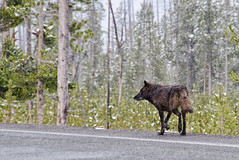 Stroll (dbushue) Tags: road nikon wolf wildlife yellowstonenationalpark wyoming 2012 ynp canislupus blackwolf lonewolf norriscanyon dailynaturetnc13 photoofthedaynwf13