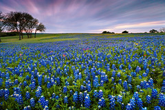 Field of Bluebonnet - Welcome to Texas (Oilfighter) Tags: longexposure texas bluebonnet slowshutter wildflowers 10stop canon1635mmf28 sugarridge canon5dmarkiii leebigstopper singhrayreversegraduatednd
